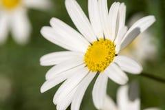 Άγριο στενό επάνω υπόβαθρο λουλουδιών μαργαριτών στοκ φωτογραφίες με δικαίωμα ελεύθερης χρήσης