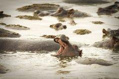 Άγριο στόμα ανοίγματος hippo ευρέως στο νερό στοκ φωτογραφίες με δικαίωμα ελεύθερης χρήσης