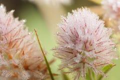 Άγριο τριφύλλι λουλουδιών Στοκ φωτογραφία με δικαίωμα ελεύθερης χρήσης
