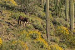 Άγριο υποζύγιο στην έρημο της Αριζόνα την άνοιξη Στοκ εικόνα με δικαίωμα ελεύθερης χρήσης
