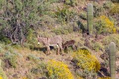 Άγριο υποζύγιο Jenny και Foal στην έρημο την άνοιξη Στοκ φωτογραφίες με δικαίωμα ελεύθερης χρήσης