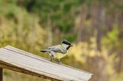 Άγριο όμορφο πουλί με κίτρινα τρόφιμα το φθινόπωρο έρευνας στον τροφοδότη Στοκ Φωτογραφίες