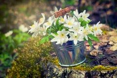 Άγριο anemone λουλουδιών άνοιξη στον κάδο στο δάσος Στοκ Εικόνα