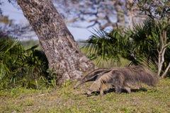 Άγριο Anteater που βαδίζει στην τροπική ρύθμιση Στοκ φωτογραφίες με δικαίωμα ελεύθερης χρήσης