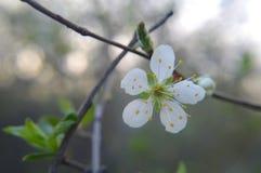 Άγριο avium 1 prunus ανθών κερασιών στοκ φωτογραφίες