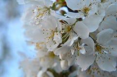 Άγριο avium 2 prunus ανθών κερασιών στοκ εικόνες