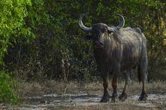 Άγριο Buffalo Lankan Sri - migona arnee Bubalus, Σρι Λάνκα Στοκ φωτογραφία με δικαίωμα ελεύθερης χρήσης