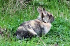 Άγριο Bunny Στοκ Εικόνα