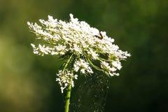 Άγριο carota Daucus λουλουδιών καρότων, που καλύπτεται στους ιστούς αράχνης, Valconca, Αιμιλία-Ρωμανία, Ιταλία στοκ εικόνες