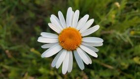 Άγριο chamomile λουλούδι Στοκ Εικόνες