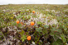 Άγριο cloudberries chamaemorus Rubus ώριμο tundra στοκ εικόνες