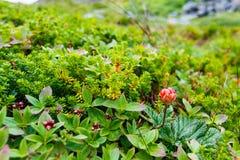 Άγριο Cloudberry Στοκ φωτογραφία με δικαίωμα ελεύθερης χρήσης