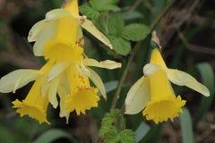 Άγριο daffodil ομάδας Στοκ εικόνα με δικαίωμα ελεύθερης χρήσης