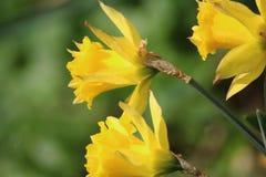 Άγριο daffodil ομάδας Στοκ εικόνες με δικαίωμα ελεύθερης χρήσης