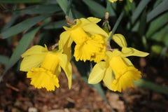 Άγριο daffodil ομάδας Στοκ φωτογραφία με δικαίωμα ελεύθερης χρήσης