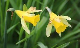 Άγριο daffodil δύο Στοκ Εικόνες