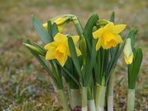 Άγριο daffodil Στοκ Εικόνες