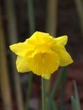 Άγριο Daffodil Στοκ Φωτογραφία