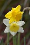 Άγριο Daffodil Στοκ εικόνα με δικαίωμα ελεύθερης χρήσης