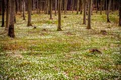 Άγριο decorativean θερινό λουλούδι amones Στοκ φωτογραφίες με δικαίωμα ελεύθερης χρήσης