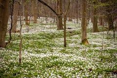 Άγριο decorativean θερινό λουλούδι amones Στοκ εικόνα με δικαίωμα ελεύθερης χρήσης