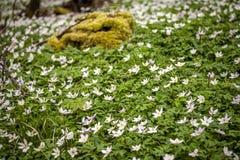 Άγριο decorativean θερινό λουλούδι amones Στοκ Φωτογραφίες