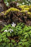 Άγριο decorativean θερινό λουλούδι amones Στοκ φωτογραφία με δικαίωμα ελεύθερης χρήσης