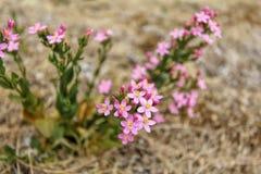 Άγριο erythraea Centaurium λουλουδιών Στοκ Φωτογραφίες