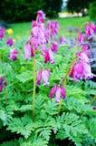 Άγριο eximia Dicentra bleeding-καρδιών Στοκ φωτογραφία με δικαίωμα ελεύθερης χρήσης