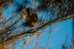 Άγριο fantail πουλί σε ένα δάσος στη Νέα Ζηλανδία στοκ φωτογραφίες