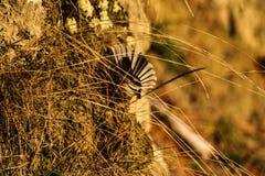 Άγριο fantail πουλί σε ένα δάσος στη Νέα Ζηλανδία στοκ φωτογραφία με δικαίωμα ελεύθερης χρήσης