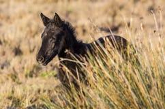 Άγριο Foal άλογο Στοκ Εικόνες
