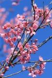 Άγριο himalayan κεράσι ή prunus cerasoides Στοκ Εικόνες