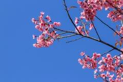 Άγριο himalayan κεράσι ή prunus cerasoides Στοκ Εικόνα
