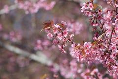 Άγριο himalayan κεράσι ή prunus cerasoides Στοκ εικόνα με δικαίωμα ελεύθερης χρήσης