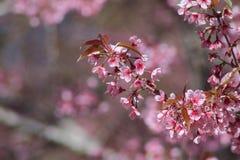 Άγριο himalayan κεράσι ή prunus cerasoides Στοκ φωτογραφία με δικαίωμα ελεύθερης χρήσης