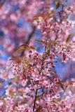 Άγριο himalayan κεράσι ή prunus cerasoides Στοκ εικόνες με δικαίωμα ελεύθερης χρήσης