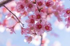 Άγριο himalayan λουλούδι κερασιών ή sakura Στοκ Φωτογραφία