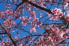 Άγριο himalayan λουλούδι κερασιών ή sakura Στοκ Εικόνες
