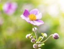 Άγριο hupehensis anemone Στοκ Εικόνες