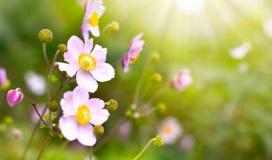 Άγριο hupehensis anemone Στοκ Εικόνα