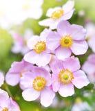Άγριο hupehensis anemone Στοκ φωτογραφίες με δικαίωμα ελεύθερης χρήσης