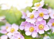 Άγριο hupehensis anemone Στοκ εικόνα με δικαίωμα ελεύθερης χρήσης