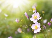 Άγριο hupehensis anemone Στοκ εικόνες με δικαίωμα ελεύθερης χρήσης