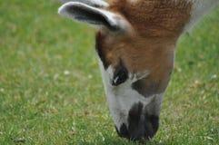 Άγριο llama Στοκ εικόνες με δικαίωμα ελεύθερης χρήσης