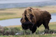 Άγριο mountai βοσκής βούβαλων βισώνων - εθνικό πάρκο Yellowstone - Στοκ Εικόνα