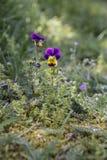 Άγριο pansy viola στο υπόβαθρο ενός πράσινου θολωμένου κήπος υποβάθρου Cornuta Viola, κερασφόρος pansy, σχηματισμένος τούφες pans στοκ φωτογραφίες
