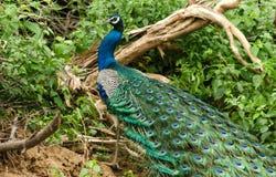 Άγριο peacock, Σρι Λάνκα στοκ εικόνες
