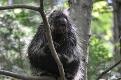 Άγριο porcupine Στοκ εικόνες με δικαίωμα ελεύθερης χρήσης