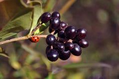 Άγριο privet Ligustrum vulgare, κοινό privet, ευρωπαϊκά μαύρα ώριμα μούρα privet στον κλάδο με τα πράσινα φύλλα και ladybug στενό στοκ φωτογραφία